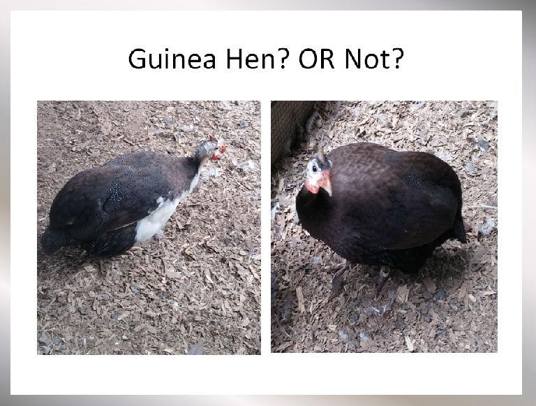 how to sex a guinea fowl